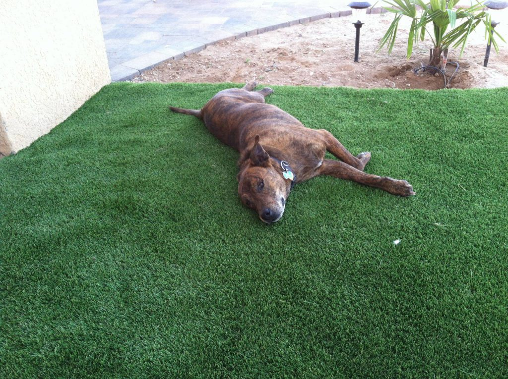 Dog laying on artificial grass