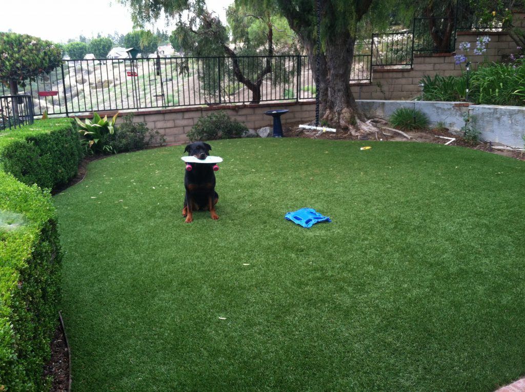 Dog playing on artificial grass in backyard